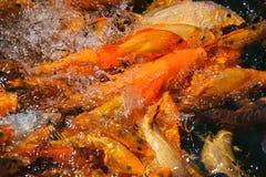 Un grupo de pescados del koi foto de archivo libre de regalías