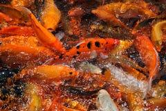 Un grupo de pescados del koi foto de archivo