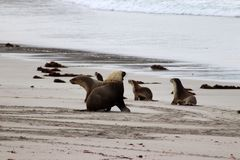 Un grupo de pizca australiana del león marino un varón dominante adulto, sur de Australia de la isla del canguro foto de archivo