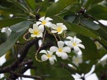 Un grupo de plumeria florece en el árbol en Tailandia, foco en el th Fotografía de archivo