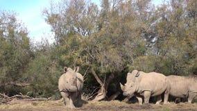 Un grupo de rinocerontes debajo de un árbol mira en la cámara y mastica almacen de video