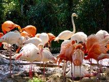 Un grupo de ruber del pterus de Phoenico en el parque animal salvaje de Shangai Imágenes de archivo libres de regalías