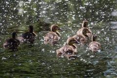 Un grupo de siete mojados anaranjados y anadones mullidos amarillos que nadan en la charca en el parque en verano fotografía de archivo