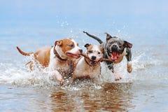 Un grupo de terrieres de Staffordshire americano fuertes juega en el agua con un palillo imagen de archivo libre de regalías