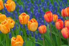 Grupo de tulipanes anaranjados y naranja-amarillos Imagen de archivo