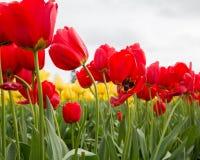 Un grupo de tulipanes rojos georgous se cierra para arriba con los tulipanes amarillos en el fondo Foto de archivo