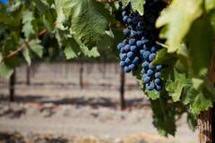 Un grupo de uvas de vino en un viñedo fotografía de archivo