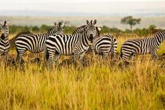 Un grupo de zeabrs en el salvaje Fotos de archivo libres de regalías
