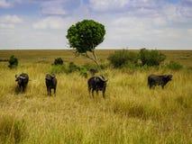 Un grupo del búfalo que se coloca en medio de la hierba Imagenes de archivo
