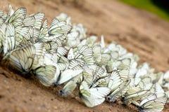 Un grupo grande de mariposas. Imagenes de archivo