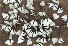 Un grupo grande de mariposas. Foto de archivo libre de regalías