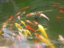 Un grupo grande de pescados coloful en la charca con agua verde foto de archivo
