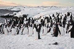 Un grupo grande de pingüinos Imágenes de archivo libres de regalías
