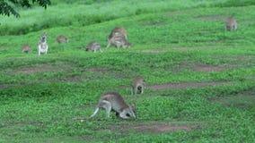 Un grupo grande de ualabis que comen la hierba en la playa de la misión, Australia almacen de video