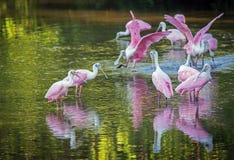 Un grupo gregario de Spoonbills rosados imagen de archivo libre de regalías