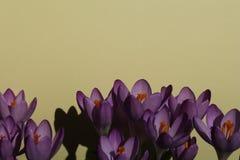 Un grupo imponente de azafranes violetas florecientes con un fondo beige Fotos de archivo
