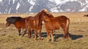 Un grupo si caballos islandeses almacen de metraje de vídeo