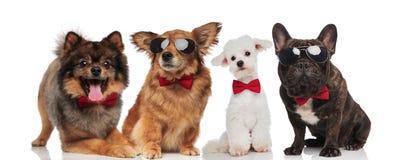 Un gruppo adorabile di quattro cani eleganti con le cravatte a farfalla rosse immagine stock