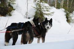 Un gruppo dei cani di slitta nel taiga di inverno immagini stock