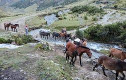 Un gruppo dei cavalli, principale dalla loro guida locale di inca, traversa le montagne delle Ande immagine stock