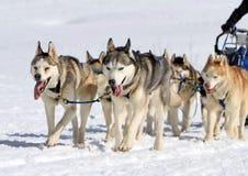Un gruppo del cane di slitta del husky sul lavoro fotografia stock