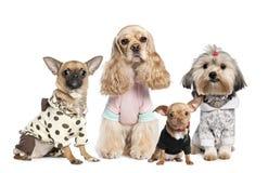 Un gruppo di 4 cani vestiti: chihuahua, tzu dello shih e C Immagini Stock