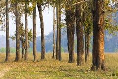 Un gruppo di alberi nei cittadini chitwan della foresta parcheggia il Nepal immagine stock libera da diritti