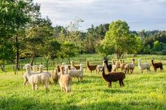 Un gruppo di alpaca in un'azienda agricola Fotografie Stock Libere da Diritti