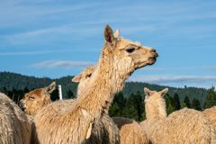 Un gruppo di alpaca bianca in un pascolo Immagine Stock Libera da Diritti