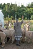 Un gruppo di alpaca che è radunata in un campo Fotografia Stock Libera da Diritti
