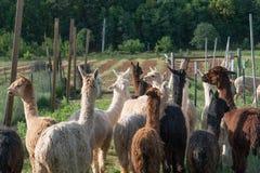 Un gruppo di alpaca che è radunata in un campo Immagine Stock Libera da Diritti