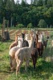 Un gruppo di alpaca che è radunata in un campo Fotografie Stock Libere da Diritti