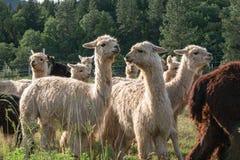 Un gruppo di alpaca che cammina ad un pascolo Fotografia Stock