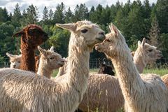Un gruppo di alpaca che cammina ad un pascolo Immagini Stock