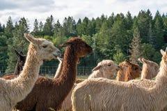 Un gruppo di alpaca che cammina ad un pascolo Immagine Stock
