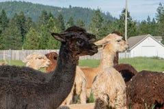 Un gruppo di alpaca che guarda a sinistra Fotografie Stock Libere da Diritti