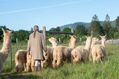 Un gruppo di alpaca che guarda stante radunata fuori per pascolare Fotografia Stock