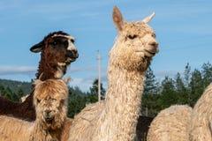 Un gruppo di alpaca che sembra attento Fotografie Stock Libere da Diritti
