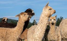 Un gruppo di alpaca che sembra attento Fotografia Stock