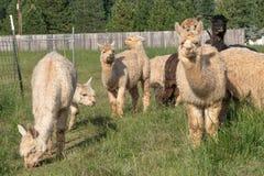 Un gruppo di alpaca che si alimenta in un pascolo Fotografia Stock Libera da Diritti