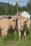 Un gruppo di alpaca che si alimenta in un pascolo Immagine Stock Libera da Diritti