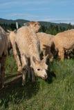 Un gruppo di alpaca che si alimenta in un pascolo Fotografie Stock