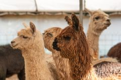 Un gruppo di alpaca in una penna di tenuta Fotografie Stock