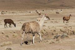 Un gruppo di alpaga dei lama che pasce negli altopiani nel bello paesaggio delle montagne delle Ande - Bolivia Fotografie Stock