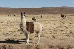 Un gruppo di alpaga dei lama che pasce negli altopiani nel bello paesaggio delle montagne delle Ande - Bolivia Fotografie Stock Libere da Diritti