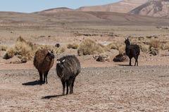 Un gruppo di alpaga dei lama che pasce negli altopiani nel bello paesaggio delle montagne delle Ande - Bolivia Immagine Stock Libera da Diritti