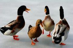 Un gruppo di anatre su ghiaccio Immagini Stock