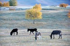 Un gruppo di asino che pasce sulla prateria in autunno fotografia stock