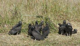 Un gruppo di avvoltoi neri immagine stock