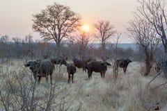 Un gruppo di bufalo che guarda fisso nel cespuglio al tempo di tramonto fotografia stock